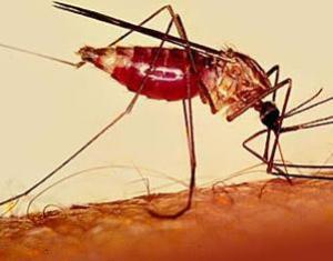 Uma nova droga destinada ao tratamento da malária, a Tafenoquina, começou a ser testada pela Fundação de Medicina Tropical Doutora Heitor Vieira Dourado (FMT-HVD)