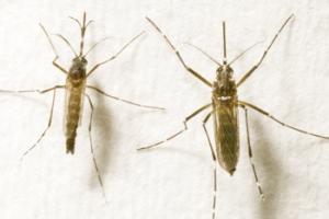 Aedes: macho, à esquerda, é inofensivo. A fêmea transmite a dengue
