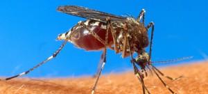 150529 - Mosquito